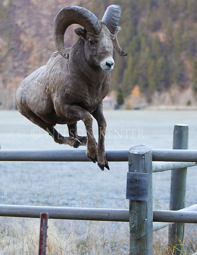 a bighorn ram jumps a fence while chasing ewes in western montana