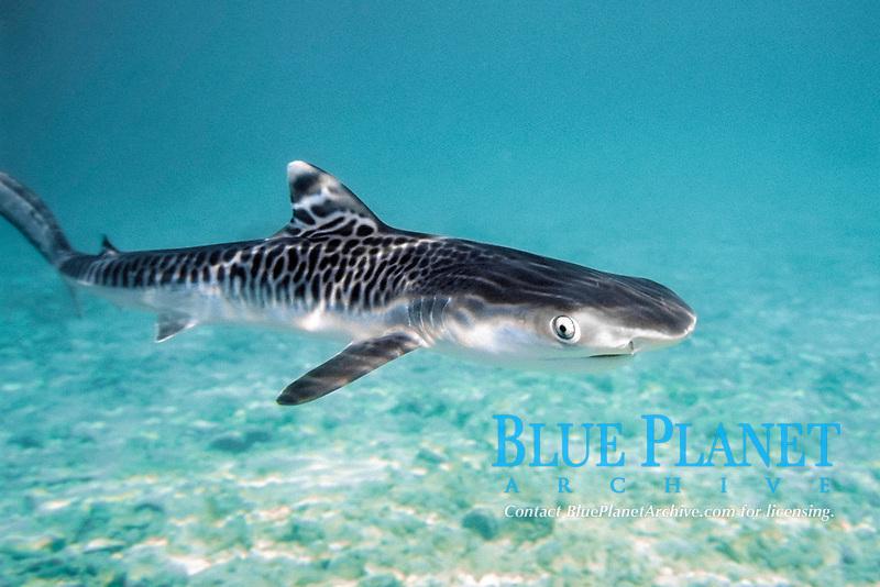 tiger shark, Galeocerdo cuvier, pup, Hawaii Institute of Marine Biology, University of Hawaii, Coconut Island, Kaneohe Bay, Oahu, Hawaii, USA, Pacific Ocean (c)