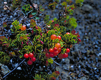 Native ohelo berries on big island of hawaii