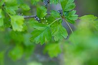 Eingriffliger Weißdorn, Eingriffeliger Weißdorn, Weissdorn, Weiß-Dorn, Weiss-Dorn, Hagedorn, Crataegus monogyna, hawthorn, common hawthorn, oneseed hawthorn, single-seeded hawthorn, English Hawthorn, May, L'Aubépine monogyne, L'Aubépine à un style, Blatt, Blätter, leaf, leaves