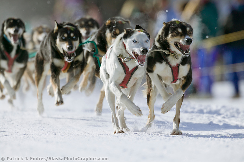 Musher Mari Wood's team at the start of the oldest continuously run sled dog race in the world, the 2003 Open North American Sled dog championships which start on the Chena River in downtown Fairbanks, Alaska. The annual race consists of three daily races, the combined fastest time wins.