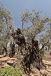 T-056 Olive trees in Gethsemane