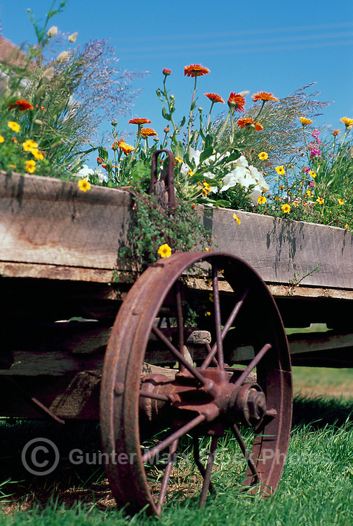 Old Wagon Carriage recycled for reuse as Flower Garden, Cariboo Chilcotin Region, BC, British Columbia, Canada, Summer