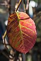 Amelanchier canadensis leaf, late October.