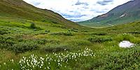 Eriophorum angustifolium, Cotton Grass or cottonsedge by bog pond, Wildflowers in subalpine heath tundra at Stony Dome, Denali National Park, Alaska