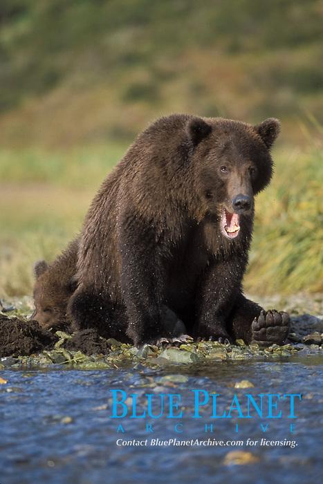 brown bear, Ursus arctos, grizzly bear, Ursus horribilis, mother takes a break from fishing for salmon as her cub sleeps, Katmai National Park, Alaska, USA