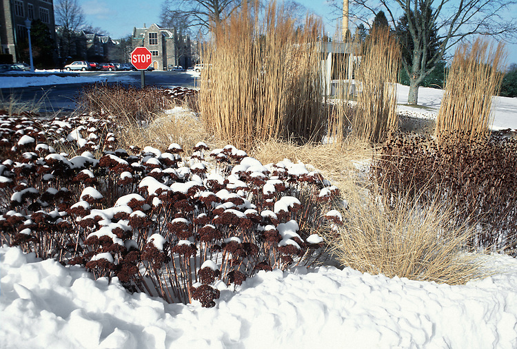 Sedum Autumn Joy Herbstfreude in winter snow with grasses & Rudbeckia seed heads in urban setting by street with buildings and stop sign