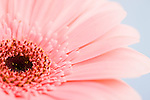 Petals and head of pink daisy
