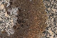 Schwärzliche Schüsselflechte, Dunkle Schüsselflechte, Xanthoparmelia pulla, Parmelia pulla, Neofuscelia pulla, Neofusciela pulla, Parmelia perrugata, Parmelia prolixa, Parmelia pulla, Parmelia subprolixa