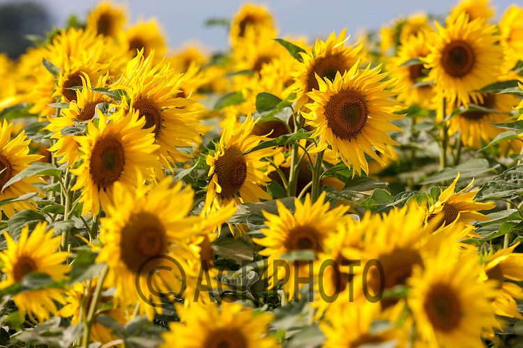 Sunflowers being grown for bird food in Lincolnshire<br /> Picture Tim Scrivener 07850 303986