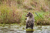Brown bear cub, Katmai National Park, southwest, Alaska.