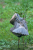 Great Blue Heron, Ardea herodias,immature, New Braunfels, Texas, USA