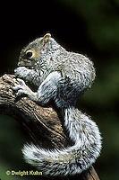 MA23-006z  Gray Squirrel - eating - Sciurus carolinensis