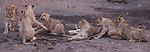 African lion (Panthera leo), Mashatu, Botswana