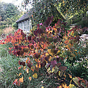 Cercis canadensis 'Forest Pansy', mid October.
