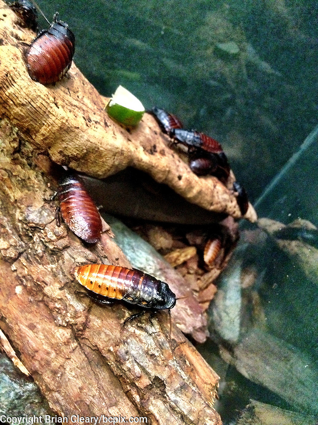 Madagascar Hissing Cockroaches, Rochester Zoo, Rochester, NY, iPhone photo from the archive of Florida-based freelance photographer Brian Cleary.  (Photo by Brian Cleary/ www.bcpix.com )