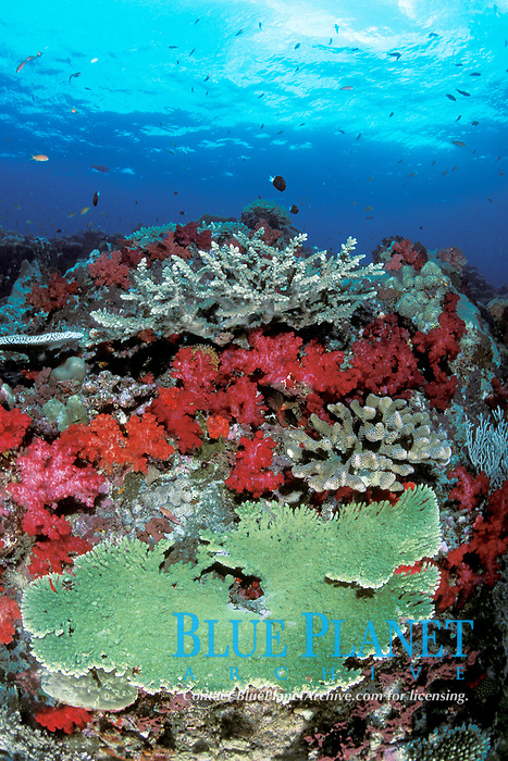underwater seascape, hard coral, Acropora sp. &soft coral, Dendronephthya sp., Fiji, Pacific Ocean