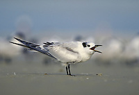 Sandwich Tern, juvenile. Marco Island Florida.