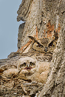 Great Horned Owl's (Bubo virginianus) nest in crotch of a tree.  Oregon, spring.