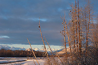 Bald eagles, Chilkat Bald Eagle Preserve, Alaska, USA