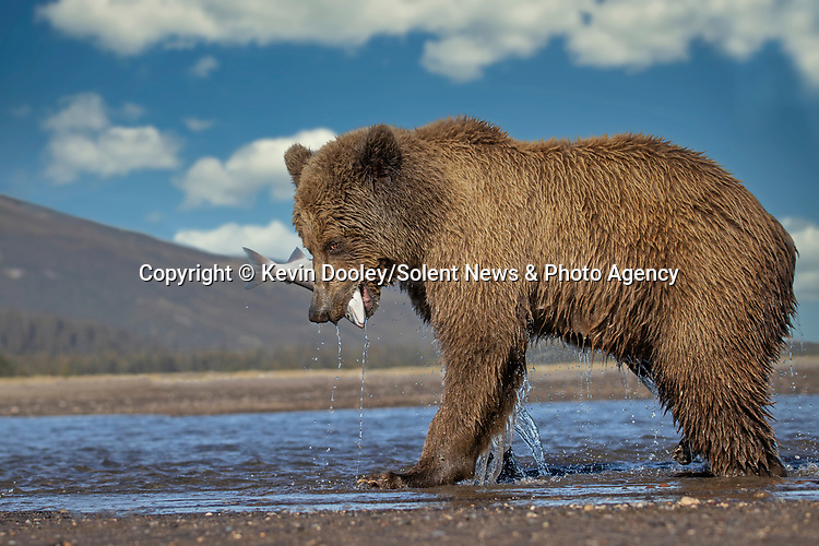 Pictured: But the bear has the final laugh catching the fish on the second attempt.  Sequence 10 of 10.<br /> <br /> A brown bear struggles to catch a thrashing salmon as the fish tries to escape its deadly paws.  The fish are a vital part of this young male's diet, providing up to nine pounds of fat each day which is necessary to survive the harsh Alaskan winter.<br /> <br /> Though the fish often slip away, this one was caught by the bear on his second attempt.  The photographs were taken by professional wildlife photographer Kevin Dooley in Southwest Alaska, in the United States.  SEE OUR COPY FOR DETAILS.<br /> <br /> Please byline: Kevin Dooley/Solent News<br /> <br /> © Kevin Dooley/Solent News & Photo Agency<br /> UK +44 (0) 2380 458800