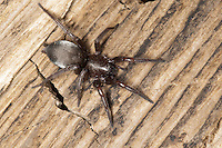 Plattbauchspinne, Mausspinne, Glattbauchspinne, Scotophaeus spec., Scotophaeus scutulatus oder Scotophaeus blackwalli, Mouse Spider, Ground spider, Gnaphosidae, Drassodidae, Plattbauchspinnen, Glattbauchspinnen, Mouse Spiders, Ground spiders