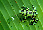 A Green and Black Poison Arrow Frog sits on a leaf, Panama.