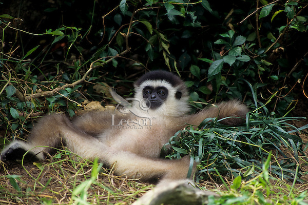 Young Muller's or Gray Gibbon (Hylobates muelleri)