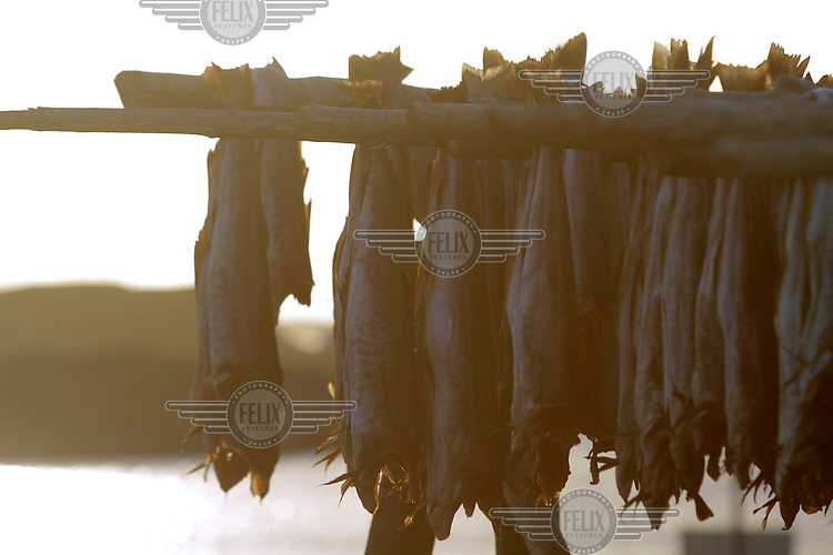 Cod hanging out to be dried. The Lofoten, before becoming a popular tourist retreat, is a very important fishing center, especially for the cod (skrei in Norwegian), attracted by the rich food brought by the Gulf Stream. At the end of the spring, thousands of tons of cod are hung to dry on wooden racks.