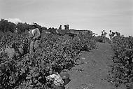Ecole Militaire d'Infanterie de Cherchell, Algérie, July 1960. EOR (Eleves Officiers de Reserves). During the training farming goes on: herd keeper and grape harvesting...