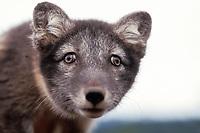 arctic fox, Vulpes lagopus, face shot, Alaska