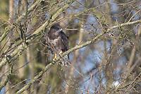 Mäusebussard, Mäuse-Bussard, Bussard, Buteo buteo, common buzzard, buzzard, La Buse variable