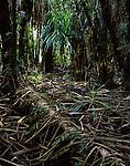 Pandanus Forest,<br /> Centenary Swamp<br /> Cairns<br /> FNQ