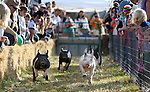 Pig races at the Corley Ranch Harvest Festival in Gardnerville, Nev. on Saturday, Oct. 27, 2012. .Photo by Cathleen Allison