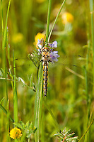 310860003 a wild male common baskettail epitheca cyanosa perches on a tall grass stem in jasper county texas