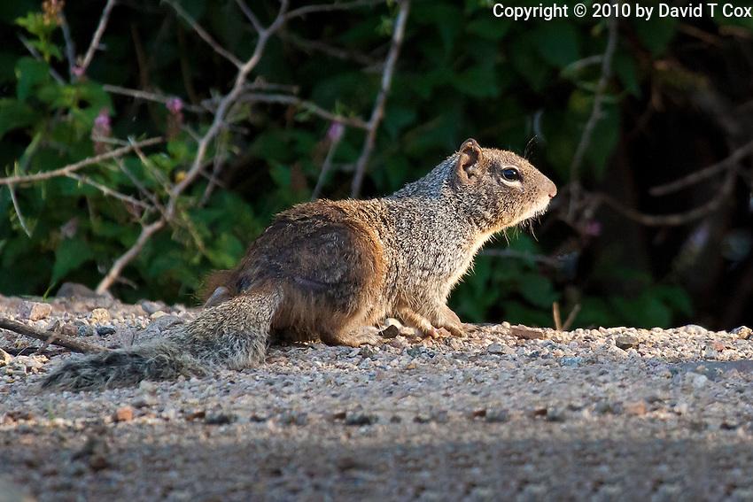 Rock Squirrel, Patagonia Lake State Park, Arizona