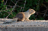 Rock Squirrel, Patagonia Lake State Park, Arizona