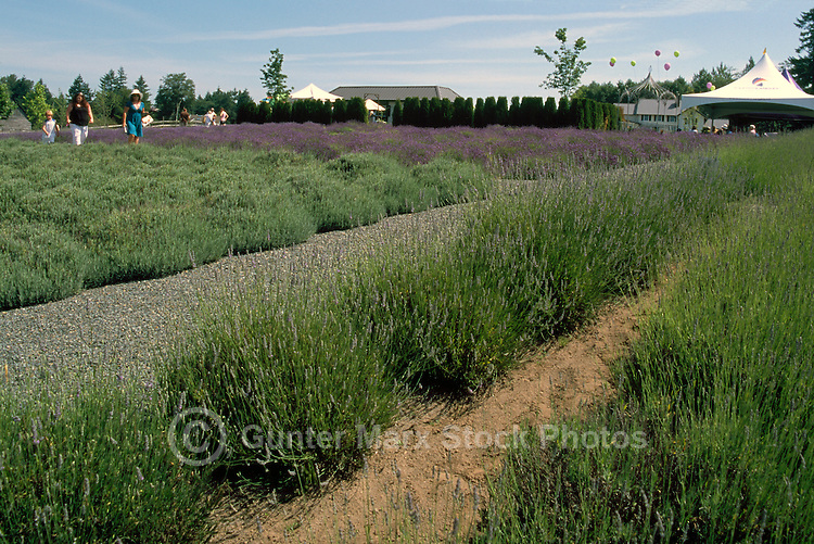 Lavender Flowers (Lavandula angustifolia) blooming in Fields at Harvest Time, on a Fraser Valley Farm, BC, British Columbia, Canada