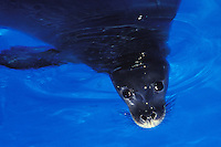 Endangered Hawaiian monk seal (monachus schauinslandi) in blue water