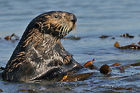 Sea Otter (Enhydra lutris) checking out another approaching otter while resting in kelp.
