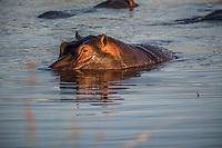 Africa, Botswana, Okavango Delta, Khwai private  reserve. Hippo