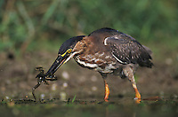 Green Heron, Butorides virescens, immature eating Leopard Frog, Lake Corpus Christi, Texas, USA, May 2003
