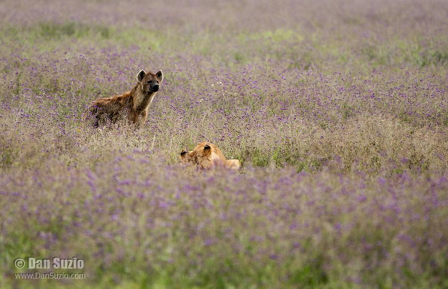 A Spotted Hyena, Crocuta crocuta, approaches a female Lion, Panthera leo  melanochaita, eating a Thomson's Gazelle, Eudorcas thomsonii,  in Ngorongoro Crater, Ngorongoro Conservation Area, Tanzania