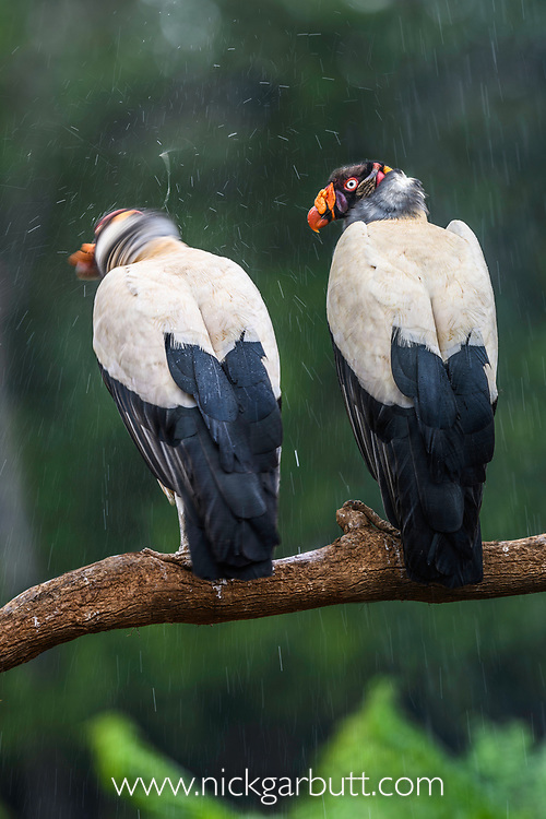 Adult king vultures (Sarcoramphus papa) in the rain. Laguna de Lagarto, Boca Tapada, north east Costa Rica (baited and photographed from a hide).