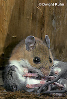 MU28-030a   White-Footed Mouse - nursing young -  Peromyscus leucopus