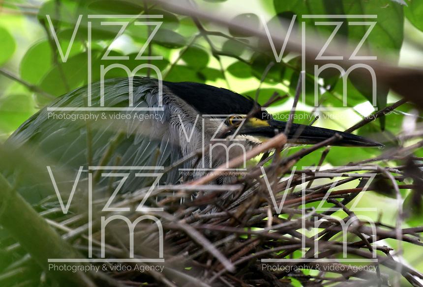 CALI - COLOMBIA - 20 - 06 - 2017: Garza Rayada (Butorides Striata), especie de ave muy común en el Valle del Cauca, Colombia. / Garza Rayada (Butorides Striata), a very common bird species in the Valle del Cauca, Colombia. / Photo: VizzorImage / Luis Ramirez / Staff.