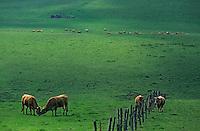 Europe/France/Auvergne/12/Aveyron/Env. de Laguiole: Troupeaux de race Aubrac en pâturage