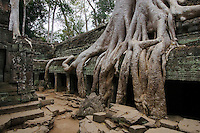 Silk cotton or kapok tree roots (Ceiba Pentandra) invades the Khmer ruins of Ta Prohm, built by Jayavarman VII, part of the  Angkor Wat - Siem Reap, Cambodia....
