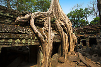 Tree growing through Ta Prohm (Rajavihara) temple ruins in the beautiful jungle of Angkor Wat Siem Reap complex, Cambodia Southeast Asia