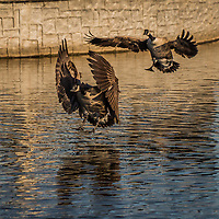 Canada geese come in for a landing at a neighborhood park on a winter afternoon.